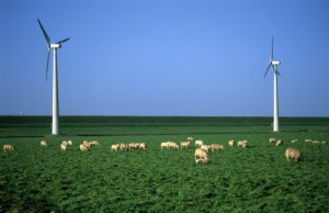 windfarmsheep